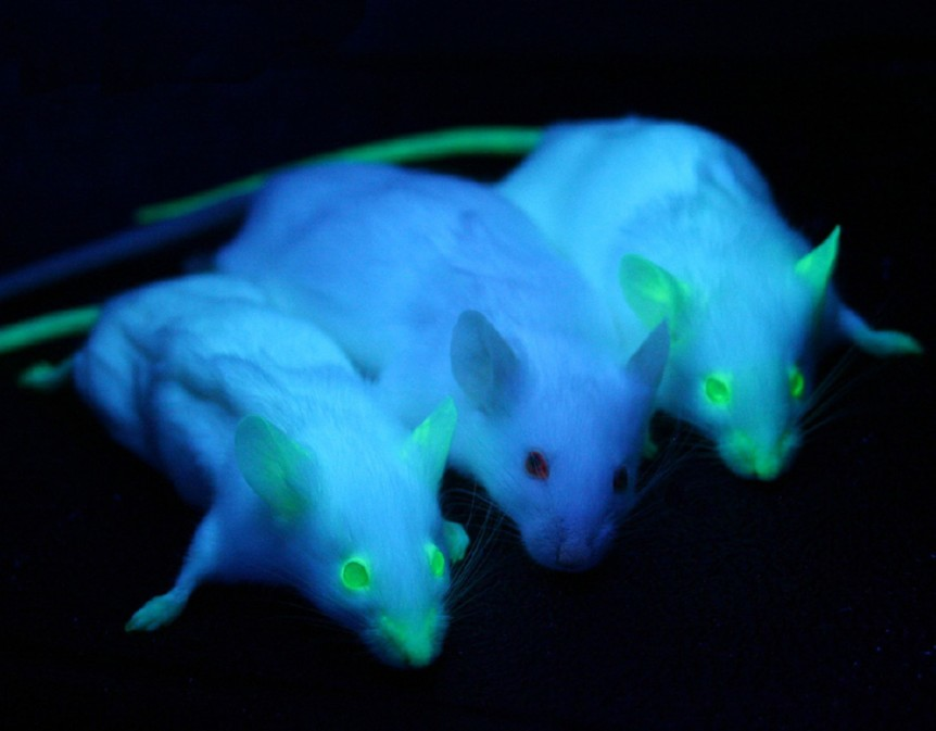 Genetically modified glowing mice genetic